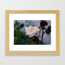 October Rose Framed Art Print