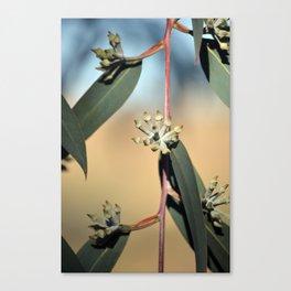 Eucalyptus Buds Canvas Print