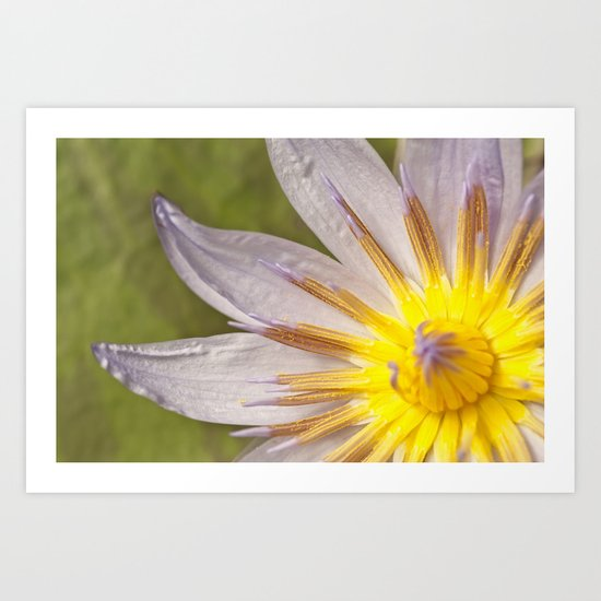 Mauve and yellow lily Art Print