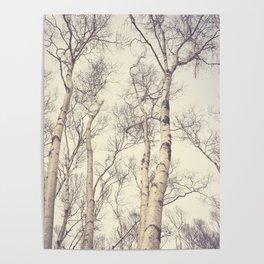 Winter Birch Trees Poster