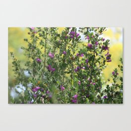 Texas Ranger Bush with Palo Verde in Background Canvas Print