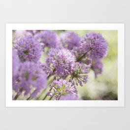 Allium - Onion Flowers 9 Art Print