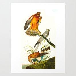 Marsh Hawk Art Print