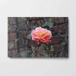 Pink & Peach Blooming Rose Metal Print