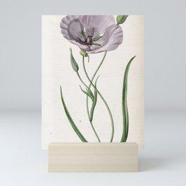 Flower 1676 calochortus splendens Satiny Calochortus17 Mini Art Print