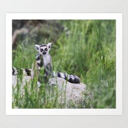 Lemurs are sitting among the green grass. Art Print