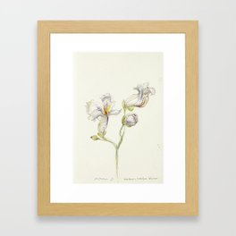 Catalpa Blossom 3 Framed Art Print