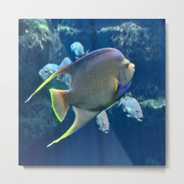 Tropical Blue Queen Angelfish Metal Print