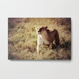 Lioness On The Prowl Metal Print
