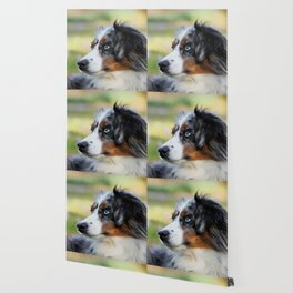 Australian Shepherd Blue Merle Dog Wallpaper