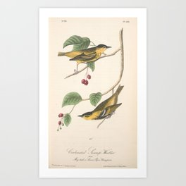Vintage Print - Birds of America (1840) - Carbonated Swamp-Warbler Art Print