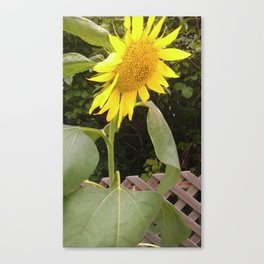 The Surviving Sunflower Canvas Print