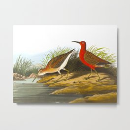 Pigmy Curlew Bird Metal Print