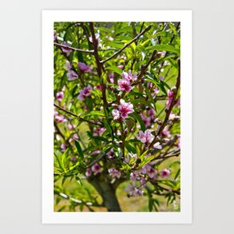 Pink Tree Blossoms I Art Print
