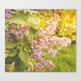 Lilac branch, close-up on a bright sunny day Canvas Print