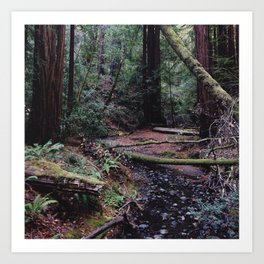 Muir Woods, Marin County, CA Art Print