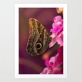 Blue Morpho butterly on pink flowers Art Print