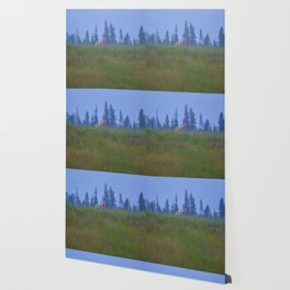Early morning coyote sighting in Jasper National Park Wallpaper