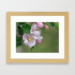 Tender Apple Tree Blossoms In Spring Framed Art Print