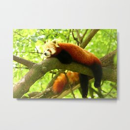 Chilling Red Panda Metal Print