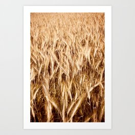 golden cereal grain ears on field Art Print