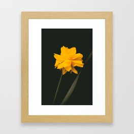 Elegant gold on black old-master botancial print style:  Double Daffodil photograph Framed Art Print