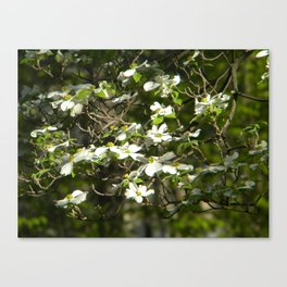 Dogwood Tree in Spring Canvas Print