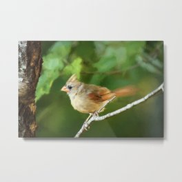Perched Female Cardinal Metal Print