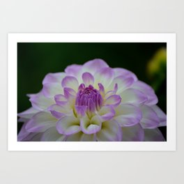purple dahlia landscape Art Print