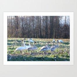 Winter Swans Art Print