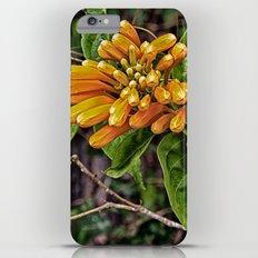 Beautiful buds of orange trumpet flower iPhone 6 Plus Slim Case