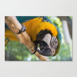 KC - Blue and Gold Macaw Canvas Print