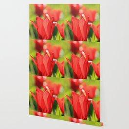 Red tulips in backlight 3 Wallpaper