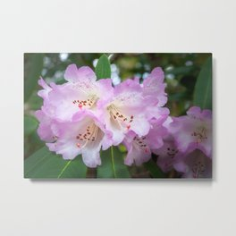 White rhododendron flowers with a purple fringe Metal Print