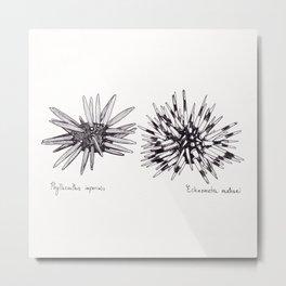 Tropical Sea Urchin Pen & Ink Metal Print
