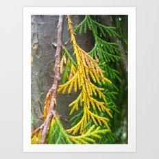Alaska yellow-cedar Art Print