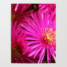 Ice Plant Pink Cactus Flowers Poster