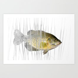 Black Crappie Fish Art Print