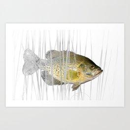 Black Crappie Fish Art Print