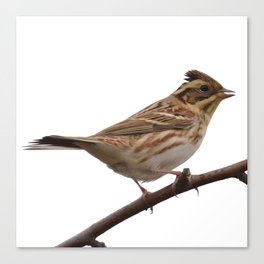 Rustic Bunting Bird Vector Isolated Canvas Print
