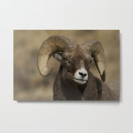 Bighorn Sheep, Ovis canadensis Metal Print