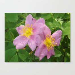 Two Pink Wild Roses Canvas Print