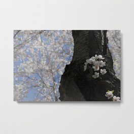 CherryBlossom.. Metal Print