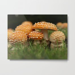 Amanita Colony... Metal Print