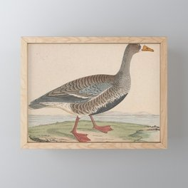 Vintage Print - A History of the Birds of Europe (1859) - Little White-Fronted Goose Framed Mini Art Print
