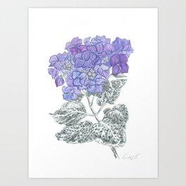 Hydrangea 01 Botanical Flower * Lavender Blue Hydrangea Art Print