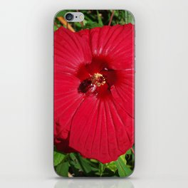 Hibiscus 'Fireball' - regal red star of my late summer garden iPhone Skin