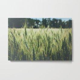 Summer Wheat Metal Print