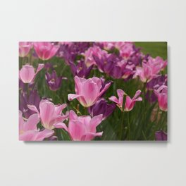 Pink and Purple Tulip Show Metal Print