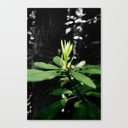 Laurel Bloom Canvas Print
